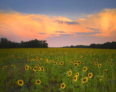 Common Sunflower (Helianthus annuus) field near Flint Hills National Wildlife Refuge, Kansas  -  Tim Fitzharris