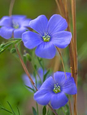 Blue Flax (Linum perenne) flowers, North America  -  Tim Fitzharris