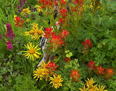 Orange Sneezeweed (Hymenoxys hoopesii) and Indian Paintbrush (Castilleja miniata) flowers in meadow, North America  -  Tim Fitzharris