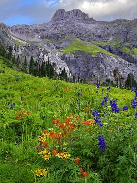 Orange Sneezeweed (Hymenoxys hoopesii) Indian Paintbrush (Castilleja miniata) and Delphinium (Delphinium staphisagria) flowers beneath Potosi Peak, Yankee Boy Basin, Colorado  -  Tim Fitzharris
