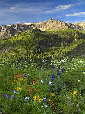 Orange Sneezeweed (Hymenoxys hoopesii) and Indian Paintbrush (Castilleja miniata) wildflower meadow looking towards Mount Sneffels Wilderness, Yankee Boy Basin, Colorado  -  Tim Fitzharris