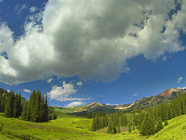 Stand of conifers in the Elk Mountains near Crested Butte, Colorado  -  Tim Fitzharris