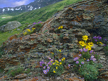Subalpine Fleabane (Erigeron peregrinus), Snow Cinquefoil (Potentilla nivea) and Alpine sunflowers growing amid rocks, Mosquito Pass, Colorado  -  Tim Fitzharris