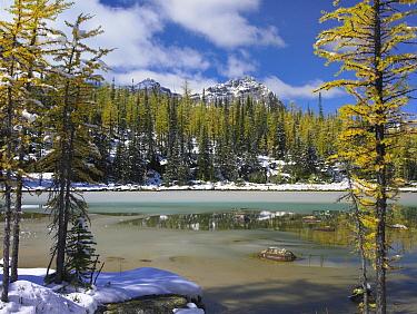 Boreal forest in light snow, Opabin Plateau, Yoho National Park, British Columbia, Canada  -  Tim Fitzharris