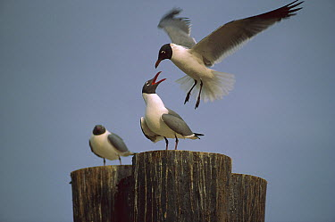 Laughing Gull (Leucophaeus atricilla) trio on pilings, North America  -  Tim Fitzharris