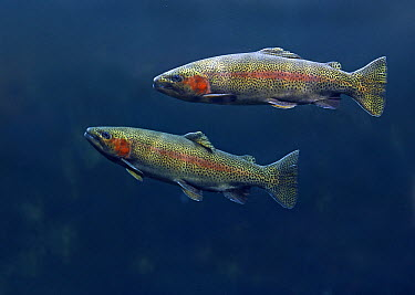 Rainbow Trout (Oncorhynchus mykiss) pair swimming underwater  -  Tim Fitzharris