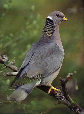 Band-tailed Pigeon (Patagioenas fasciata), North America  -  Tim Fitzharris