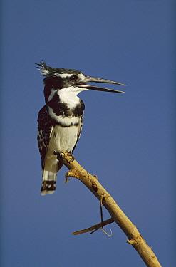 Pied Kingfisher (Ceryle rudis) calling, Kenya  -  Tim Fitzharris