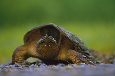 Yucatan Snapping Turtle (Chelydra rossignonii), North America  -  Tim Fitzharris