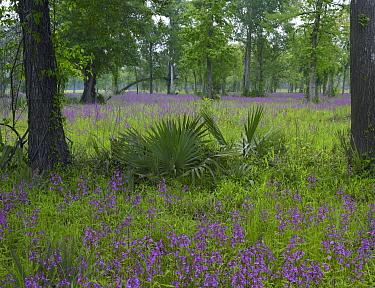 Brazos Penstemon (Penstemon tenuis) perennial meadow in Big Thicket National Preserve, Texas  -  Tim Fitzharris