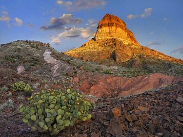 Opuntia (Opuntia sp) cactus at Cerro Castellan, Chihuahuan Desert, Big Bend National Park, Chihuahuan Desert, Texas  -  Tim Fitzharris