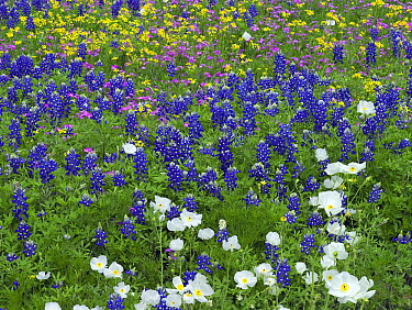 Sand Bluebonnet (Lupinus subcarnosus), Pointed Phlox (Phlox cuspidata), Prickly Poppy (Argemone albiflora), and Squaw-weed (Senecio aureus) flowers, Hill Country, Texas  -  Tim Fitzharris