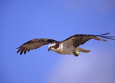 Osprey (Pandion haliaetus) flying, North America  -  Tim Fitzharris