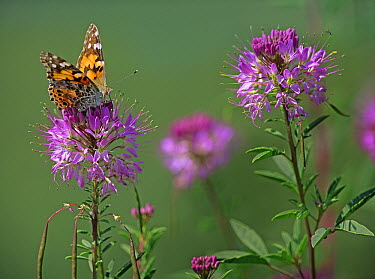 American Painted Lady (Cynthia virginiensis) butterfly feeding on Rocky Mountain Bee Plant (Cleome serrulata), North America  -  Tim Fitzharris