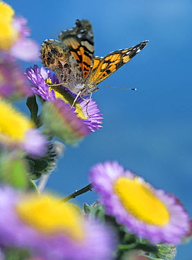 American Painted Lady (Cynthia virginiensis) butterfly feeding on Purple Aster (Aster foliaceus), North America  -  Tim Fitzharris