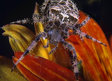 House Spider (Tegenaria atrica) on cornflower, North America  -  Tim Fitzharris