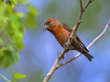 Red Crossbill (Loxia curvirostra) perching on branch, North America  -  Tim Fitzharris