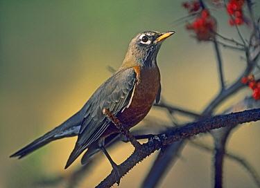 American Robin (Turdus migratorius), North America  -  Tim Fitzharris