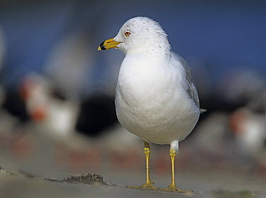 Ring-billed Gull (Larus delawarensis), North America  -  Tim Fitzharris