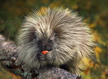 Common Porcupine (Erethizon dorsatum) eating an apple, North America  -  Tim Fitzharris