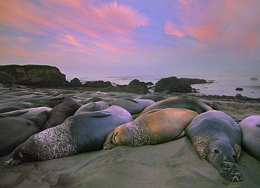 Northern Elephant Seal (Mirounga angustirostris) group laying on beach, Point Piedra Blancas, California  -  Tim Fitzharris