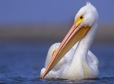 American White Pelican (Pelecanus erythrorhynchos), North America  -  Tim Fitzharris