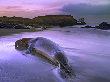 Northern Elephant Seal (Mirounga angustirostris) bull laying at surf's edge, Point Piedras Blancas, California  -  Tim Fitzharris
