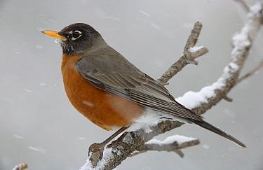 American Robin (Turdus migratorius) perching in snow storm, North America  -  Tim Fitzharris