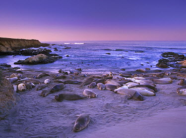 Northern Elephant Seal (Mirounga angustirostris) group of adults and juveniles laying on the beach, Point Piedras Blancas, Big Sur, California  -  Tim Fitzharris