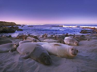 Northern Elephant Seal (Mirounga angustirostris) juveniles laying on the beach, Point Piedras Blancas, Big Sur, California  -  Tim Fitzharris