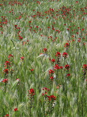 Indian Paintbrush (Castilleja coccinea) and Foxtail Barley (Critesion jubatum) field, Texas  -  Tim Fitzharris