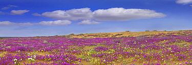 Sand Verbena (Abronia sp) carpeting the Imperial Sand Dunes, California  -  Tim Fitzharris