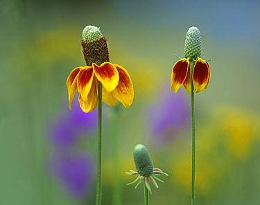 Mexican Hat (Ratibida columnifera) close up of petals, North America  -  Tim Fitzharris