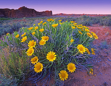 Sunflowers and buttes, Capitol Reef National Park, Utah  -  Tim Fitzharris