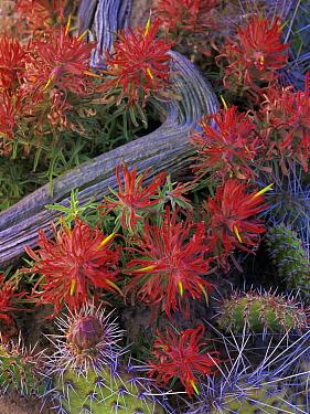 Indian Paintbrush (Castilleja coccinea) close up of bloom, North America  -  Tim Fitzharris