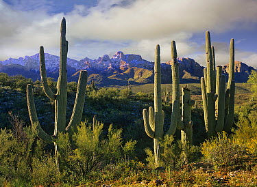 Saguaro (Carnegiea gigantea) cacti and Santa Catalina Mountains, Arizona  -  Tim Fitzharris