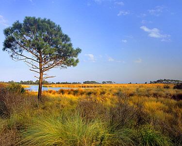 Pine (Pinus sp) tree and salt marsh, St. Marks National Wildlife Refuge, Florida  -  Tim Fitzharris