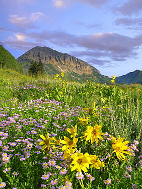 Orange Sneezeweed (Hymenoxys hoopesii) and Smooth Aster (Aster laevis) wildflowers in meadow with Gothic Mountain in distance, Colorado  -  Tim Fitzharris