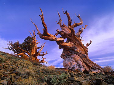 Foxtail Pine (Pinus balfouriana) tree, known as Methuselah, is over 4800 years old, White Mountains, Inyo National Forest, California  -  Tim Fitzharris
