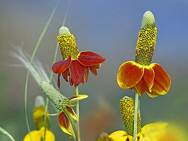 Mexican Hat (Ratibida columnifera) flowers in bloom, North America  -  Tim Fitzharris