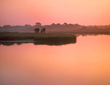 Wild Horse (Equus caballus) pair grazing, Assateague Island National Seashore, Maryland  -  Tim Fitzharris