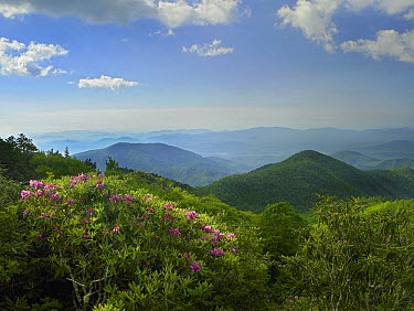 Rhododendron (Rhododendron sp) tree flowering at Craggy Gardens, Blue Ridge Parkway, North Carolina  -  Tim Fitzharris