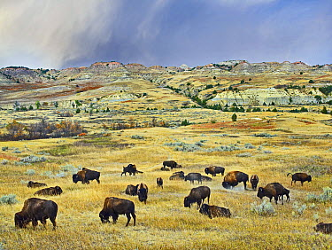 American Bison (Bison bison) herd grazing on shortgrass praire near Scoria Point, Theodore Roosevelt National Park, North Dakota  -  Tim Fitzharris