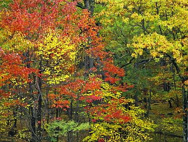 Fall foliage at Fishers Gap, Shenandoah National Park, Virginia  -  Tim Fitzharris