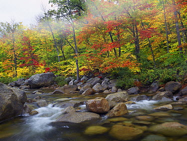 Swift River flowing through fall colored forest, White Mountains National Forest, New Hampshire  -  Tim Fitzharris