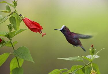 Snowcap (Microchera albocoronata) hummingbird male foraging, Costa Rica  -  Tim Fitzharris