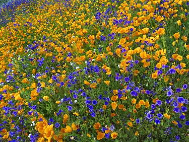 California Poppy (Eschscholzia californica) and Desert Bluebell (Phacelia campanularia) flowers, Antelope Valley, California  -  Tim Fitzharris