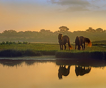 Wild Horse (Equus caballus) pair grazing at Assateague Island National Seashore, Maryland  -  Tim Fitzharris