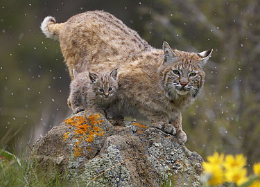 Bobcat (Lynx rufus) mother and kitten in snowfall, North America  -  Tim Fitzharris