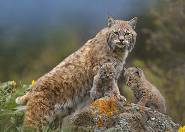 Bobcat (Lynx rufus) mother and kittens, North America  -  Tim Fitzharris
